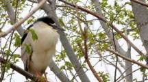 Black-Crowned Night-Heron, Nycticorax Nycticorax, Near Nest