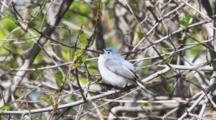 Blue-Gray Gnatcatcher, Polioptila Caerulea, Singing