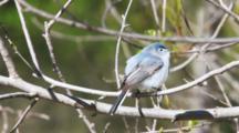 Blue-Gray Gnatcatcher, Polioptila Caerulea, Calling