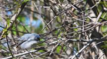 Blue-Gray Gnatcatcher, Polioptila Caerulea