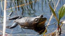 American Bullfrog, Lithobates Catesbeianus, Calling