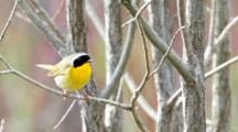 Common Yellowthroat, Geothlypis Trichas