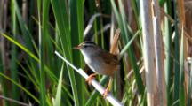 Marsh Wren, Cistothorus Palustris, Singing
