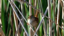 Marsh Wren, Cistothorus Palustris, In Cattails