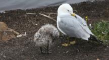 Ring-Billed Gull, Larus Delawarensis, Adult With Chick