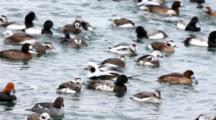 Mixed Species Of Ducks In Winter