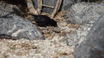 Large Ground Finch, Geospiza Magnirostris, From The Galapagos