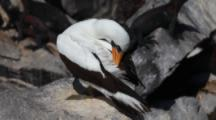 The Nazca Booby, Sula Granti, From The Galapagos