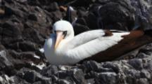 The Nazca Booby, Sula Granti, From The Galapagos Islands