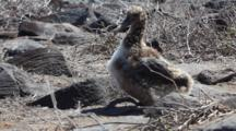 A Waved Albatross Chick, Phoebastria Irrorata, From The Galapagos