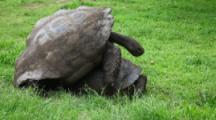 Galapagos Tortoise, Geochelone Nigra, Mating