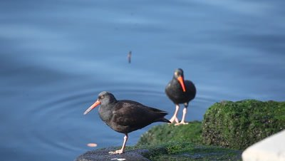 Black Oystercatcher on the shore of the Pacific