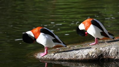 A pair of Common Shelducks, Tadorna tadorna