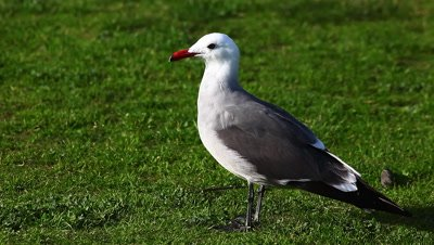 A Heermann's Gull loafs on the grass