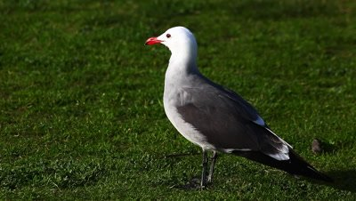 A Heermann's Gull rests on the grass