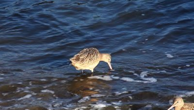 A Marbled Godwit searches for food on a wavy shore