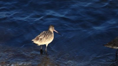 A Marbled Godwit searches for food along the shore