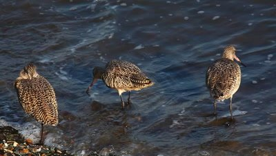 Marbled Godwits search for food along the shore