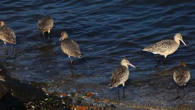Marbled Godwits search for food