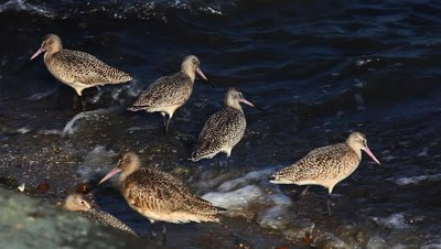 Marbled Godwits search for food along a wavy shore