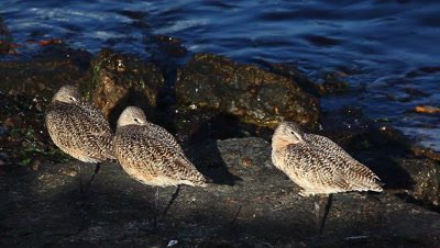 Marbled Godwits rest along the shore