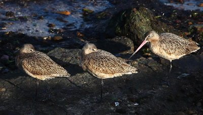 Marbled Godwits rest along the Pacific shore