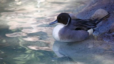 An elegant male Northern Pintail