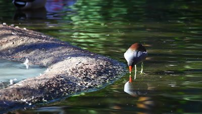 A Purple Gallinule resting by the shore