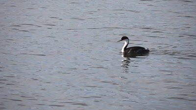 A Western Grebe swims along the Pacific shore