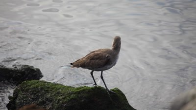 A Willet by the shore of the Pacific Ocean