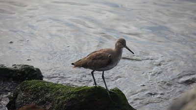 A Willet by the shore of the Pacific