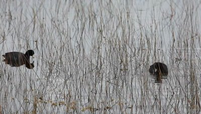 American Coot, Fulica americana, in Everglades