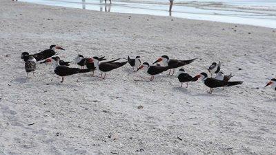Flock of Black Skimmer, Rynchops niger