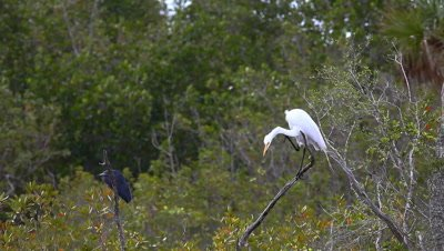 Great Egret, Ardea alba, and Little Blue Heron, Egretta caerulea
