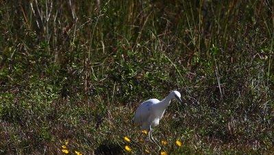 Juvenile Little Blue Heron, Egretta caerulea, hunting in Everglades