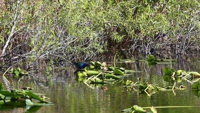 Purple Gallinule, Porphyrio martinicus, in an Everglades marsh