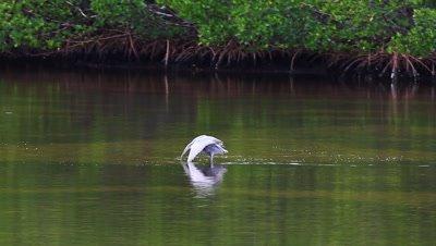Juvenile Reddish Egret, Egretta rufescens, at Ding Darling in Florida