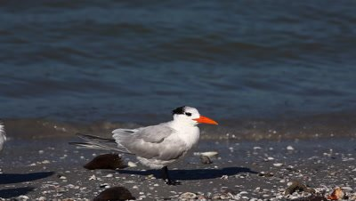 Royal Tern, Thalasseus maximus, on the shore