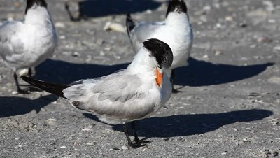Royal Tern, Thalasseus maximus, preening on the beach