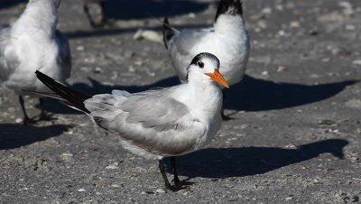 Royal Tern, Thalasseus maximus, relaxing