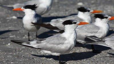 Group of Royal Tern, Thalasseus maximus