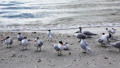 Royal Terns, Thalasseus maximus, on the shore