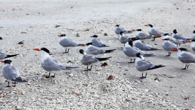 Royal Terns, Thalasseus maximus, on the beach