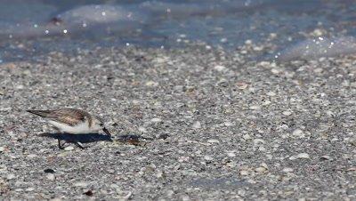 Sanderling, Calidris alba, feeding on the shoreline