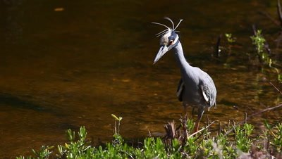 Yellow Crowned Night Heron, Nyctanassa violacea, hunting in Everglades