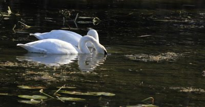 4K UltraHD Pair of Trumpeter Swan, Cygnus buccinator, feeding
