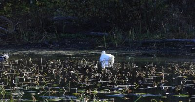 4K UltraHD Mute Swan, Cygnus olor
