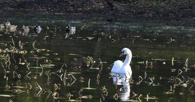 4K UltraHD Mute Swan, Cygnus olor, feeding with Mallards