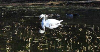 4K UltraHD Mute Swan, Cygnus olor, feeding on Pond