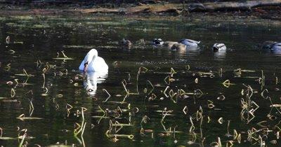 4K UltraHD Mute Swan, Cygnus olor, feeding